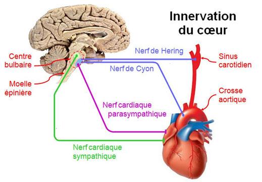 Résultats de recherche d'images pour «système nerveux coeur»