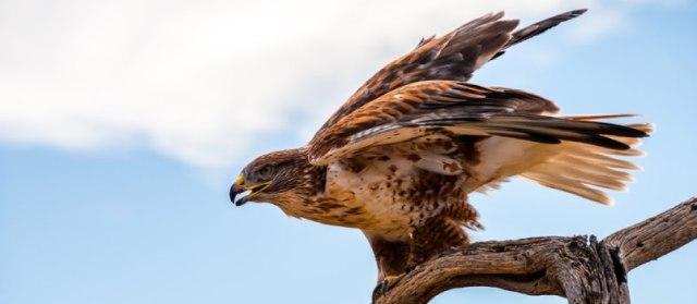 Hawk is the truest visionaries of the North American zodiac