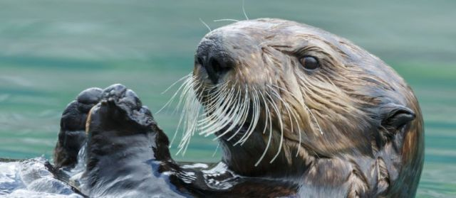Otter is oldest among the animals of the North American Zodiac