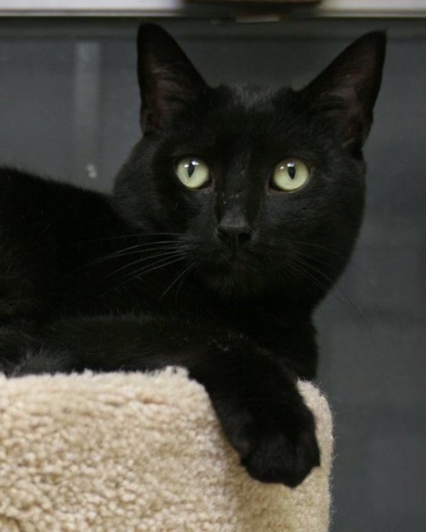Jets Adopt a black cat at pre-Halloween rescue event   NJ.com
