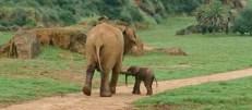 Nace un nuevo elefante africano en el Parque de la Naturaleza de Cabárceno