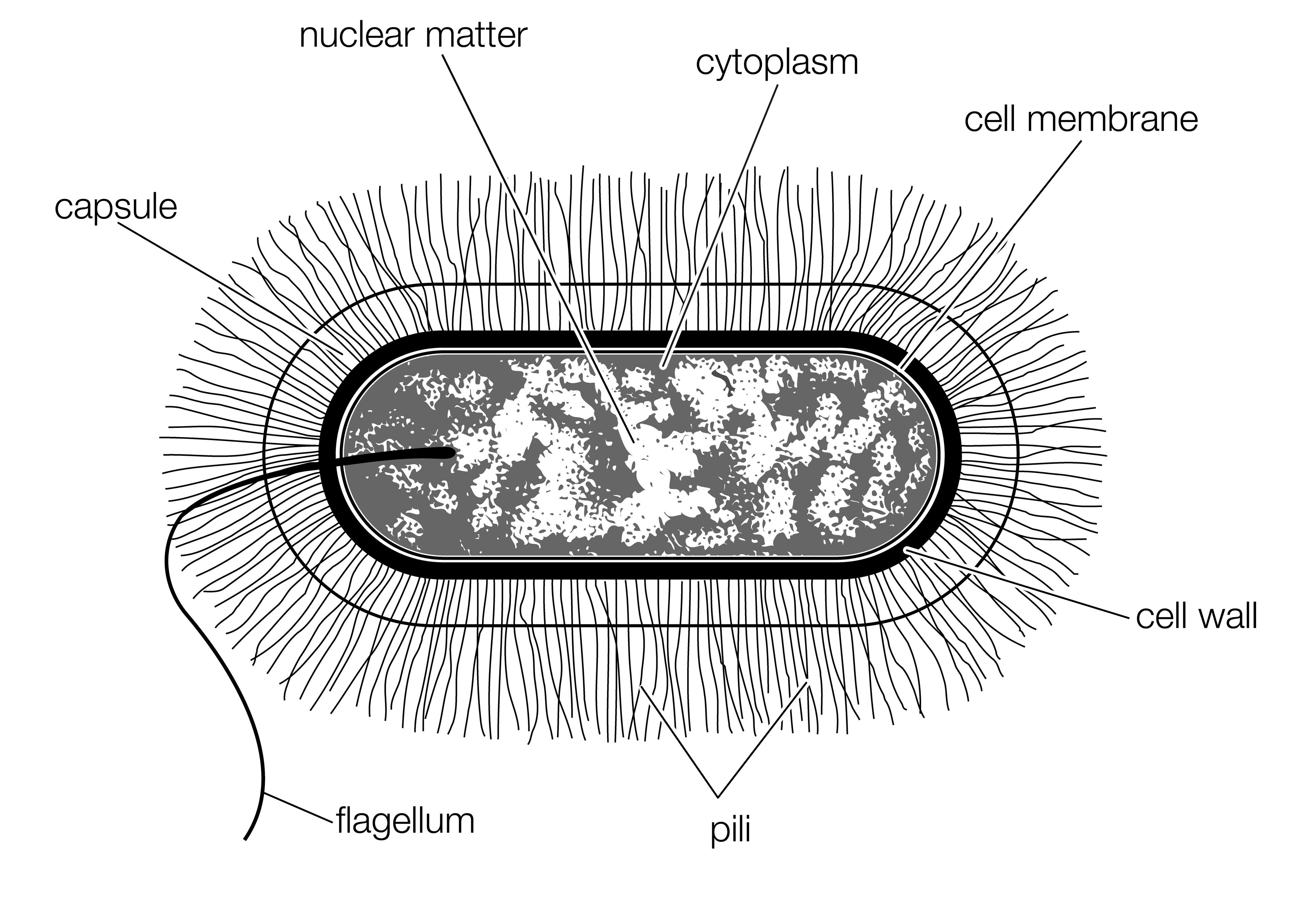 The Structure Of A Typical Bacterial Cell Of The Bacillus