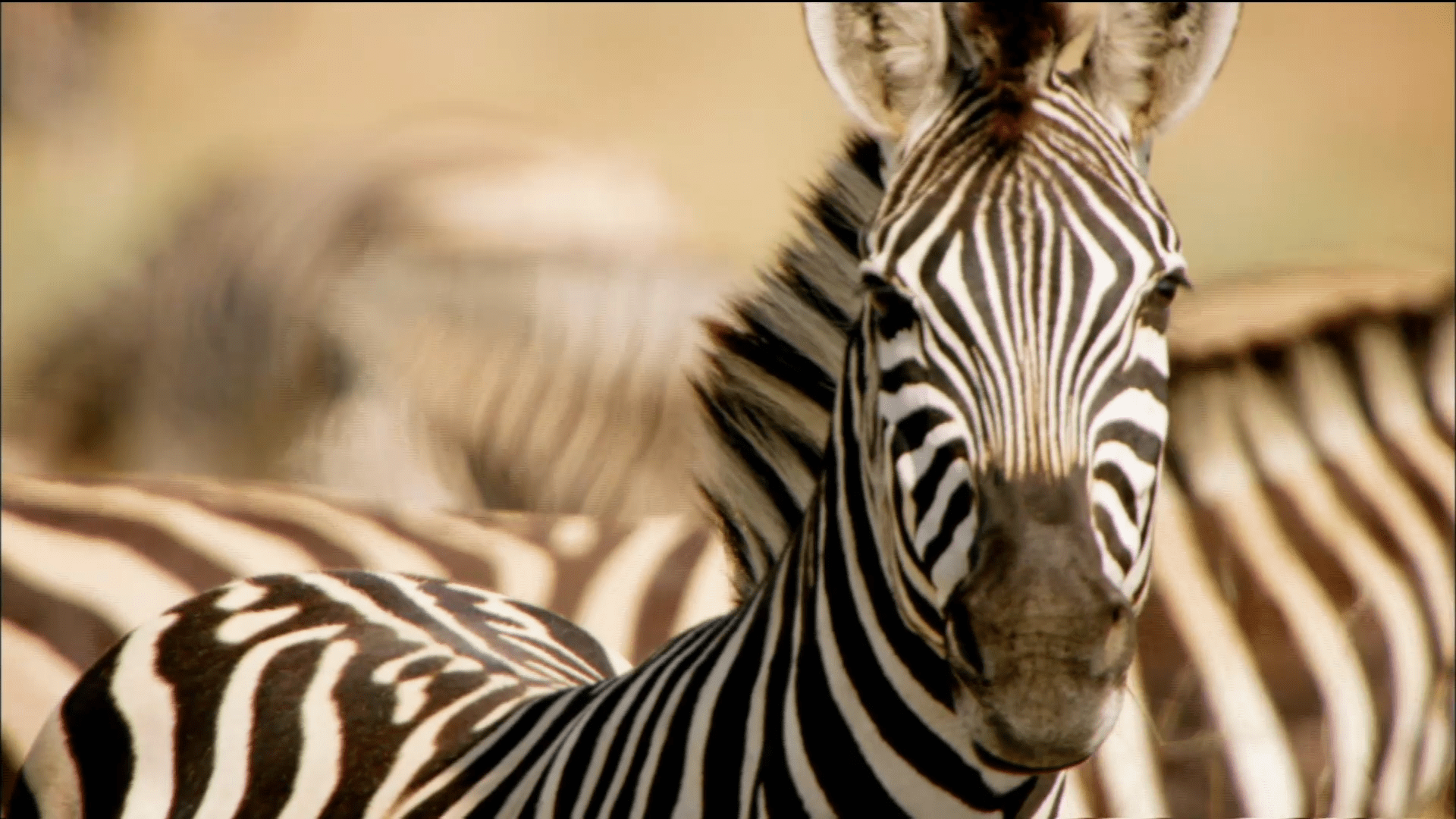 Animal Adaptations Zebra External Structures And