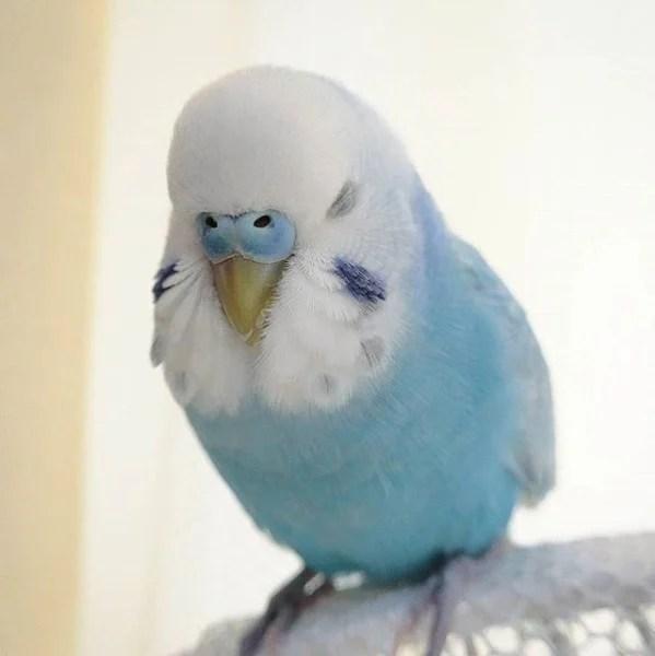 Sora身體大部分的羽毛
