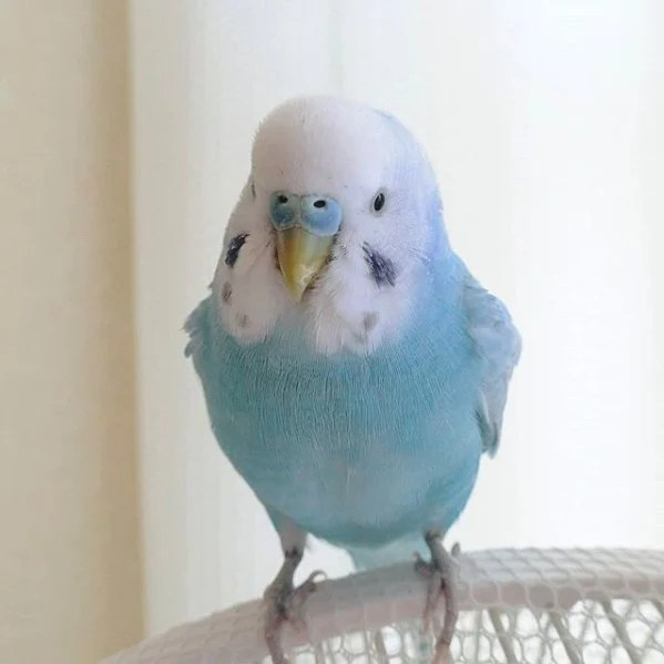 屬於虎皮鸚鵡的品種。對於平均壽命只有10年的牠們而言,Sora可算是年長人士了。