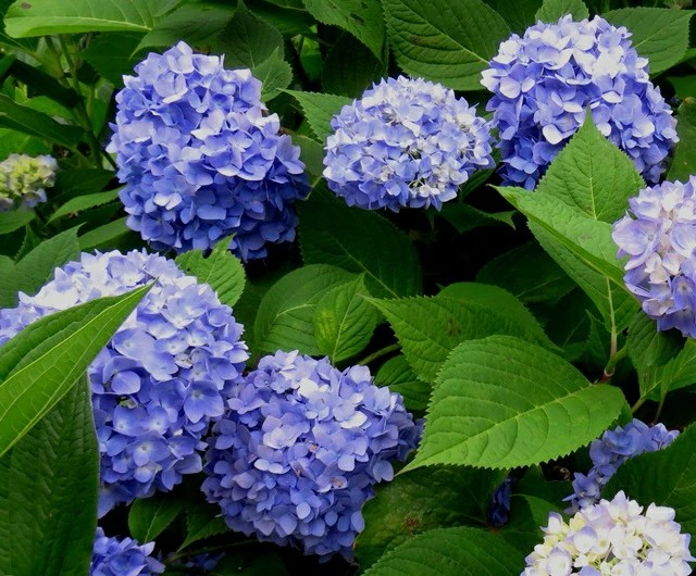 Chigusa Hydrangea Hydrangea Hydrangea Endless Summer 5 Issue