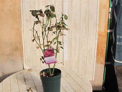 バラの剪定の仕方 鉢植え 新苗