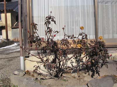 冬のバラの剪定の仕方 古い株