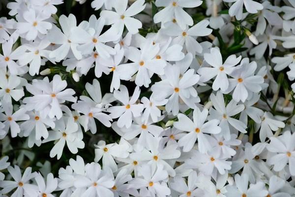 芝桜「リトルドット」