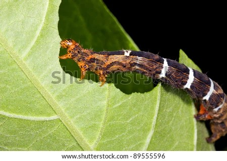 Caterpillar eating a hole in a leaf