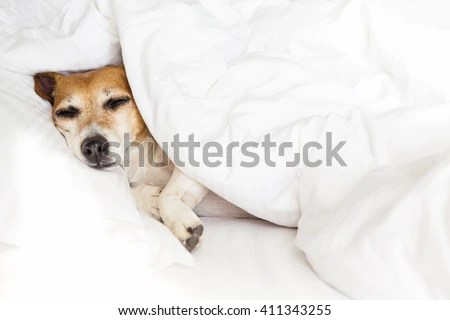 sleepy sweet dog on white soft comfortable bed pillow covers and bed sheet leisure petfriendly dogfriendly hotel don t worry be happy stock images page everypixel