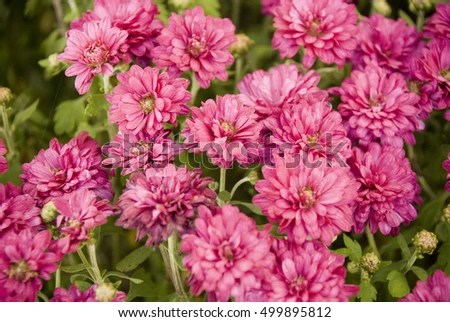 Pink Fall Mums Seasonal Macro Photography