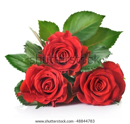 https://i2.wp.com/image.shutterstock.com/display_pic_with_logo/195826/195826,1268765284,2/stock-photo-beautiful-red-roses-over-white-48844783.jpg