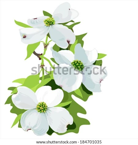 Dogwood (Cornus florida) Hand drawn vector illustration of dogwood blossom, in realistic style on white background, (dark  background also available)