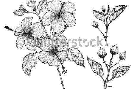 Draw and label a hibiscus flower flowers online 2018 flowers online hibiscus flowers drawing and sketch with line art on white backgrounds hibiscus hibiscus flower diagram and label diagram flower parts diagram hibiscus ccuart Gallery