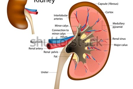 Interior anatomy of kidney full hd maps locations another world human anatomy organs kidney internal body parts kidney human anatomy human anatomy organs kidney internal body parts kidney human anatomy stones fu on ccuart Image collections