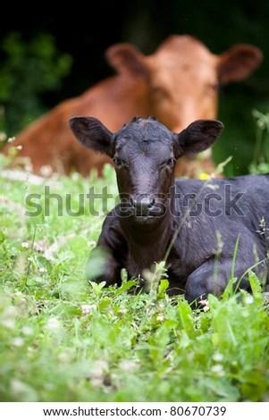 stock photo : Beef Calf at Pasture