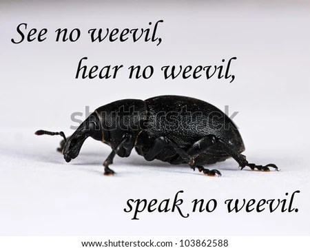 Large black weevil - see no evil pun, pest control - stock photo