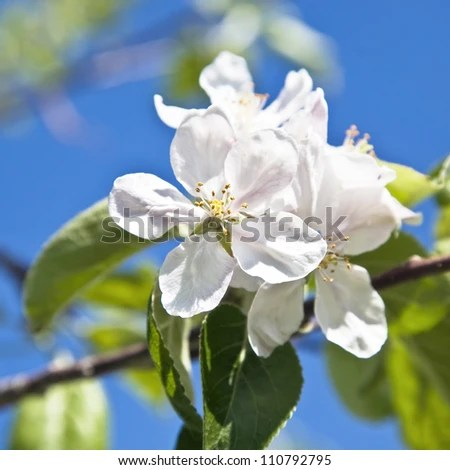 stock photo : Springtime apple blossom against a bright blue sky.