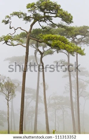 Pine on mountain with fog at Phu Soi Dao National Park, Uttaradit, Thailand - stock photo