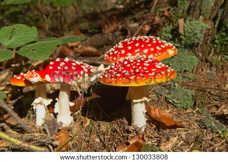 Group of toadstools in the forest (horizontally) - stock photo