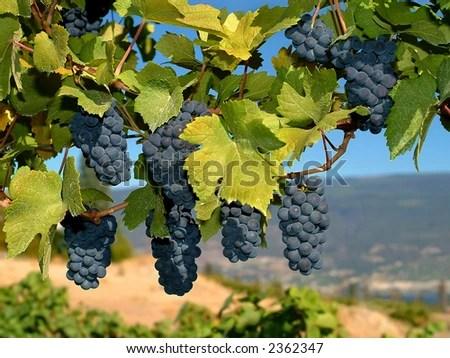 stock photo : merlot grapes on the vine