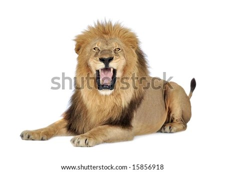 stock photo : Lion (8 years) - Panthera leo in front of a white background
