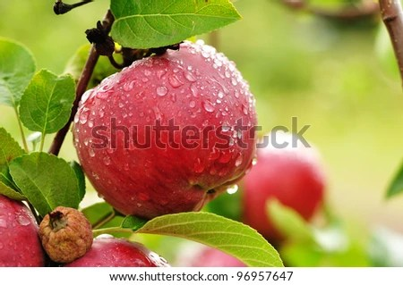A Ripe Red Apple Covered with Raindrops - stock photo