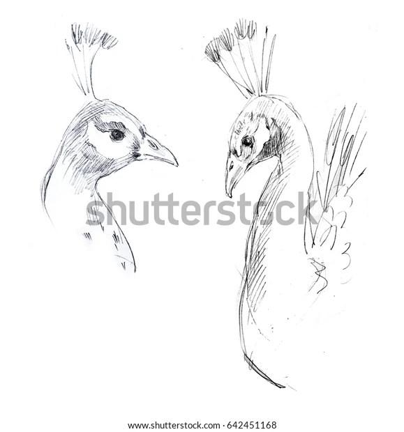 Handdrawn Pencil Sketch Bird Peacock Stock Illustration 642451168