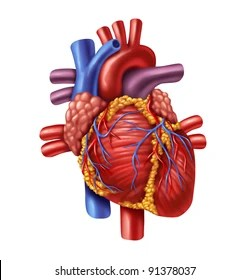 Human Heart Images Stock Photos Vectors Shutterstock