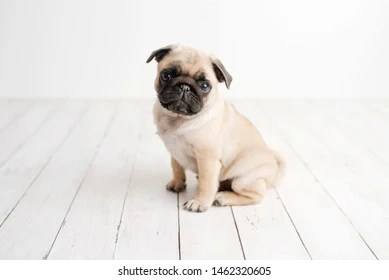 Pug Puppy Images Stock Photos Vectors Shutterstock