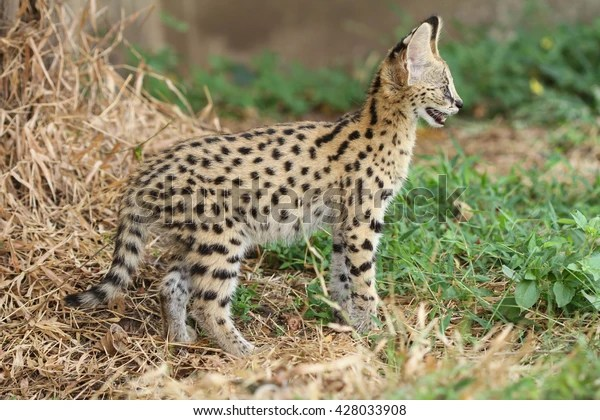 African Cat Serval Cat Natural Little Stock Photo (Edit Now) 428033908