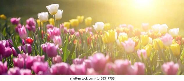 Tulip Images Stock Photos Vectors Shutterstock