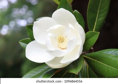 Magnolia Flowers Images  Stock Photos   Vectors   Shutterstock Blown beautiful magnolia flower on a tree with green leaves