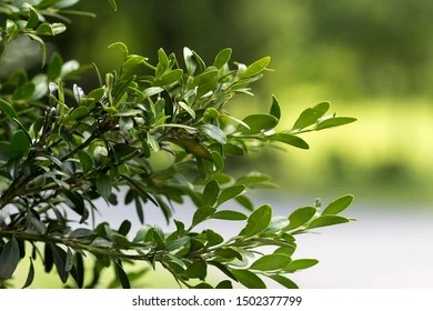 Buxus Stock Photos Images Photography Shutterstock