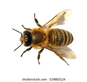 European Honey Bee Images Stock Photos Vectors Shutterstock