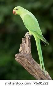 Indian Parrot Images Stock Photos Vectors Shutterstock