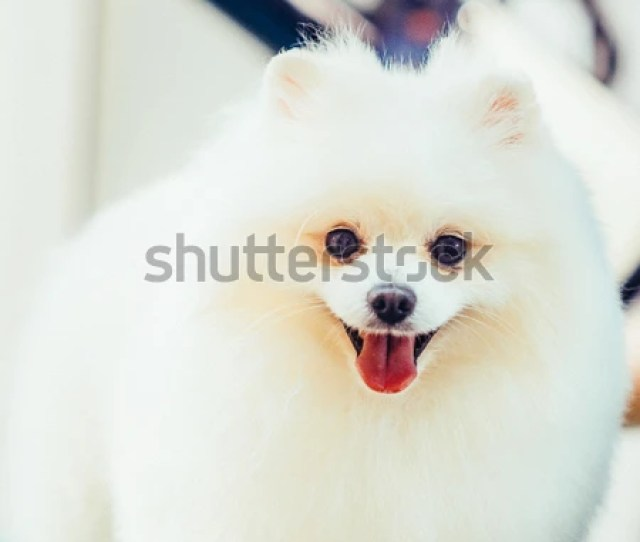 Groomer Haircut Pomeranian Dog In The Beauty Salon For Dogs Toned Image The Concept