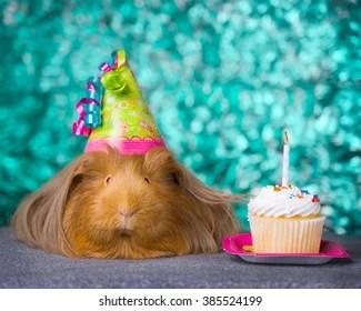 Guinea Pig Birthday Images Stock Photos Vectors Shutterstock