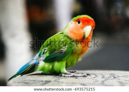 Inseparable Lovebird