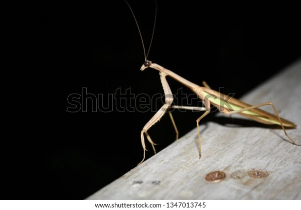 large praying mantis on wood railing at night