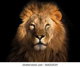 Lion Images Stock Photos Vectors Shutterstock