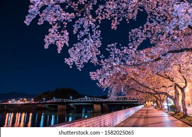 Japan Blossom Night High Res Stock Images Shutterstock