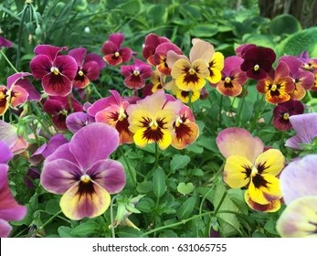 Pansy Flower Images  Stock Photos   Vectors   Shutterstock Pansy Flowers vivid yellow spring colors against a lush green background   Macro images of flower