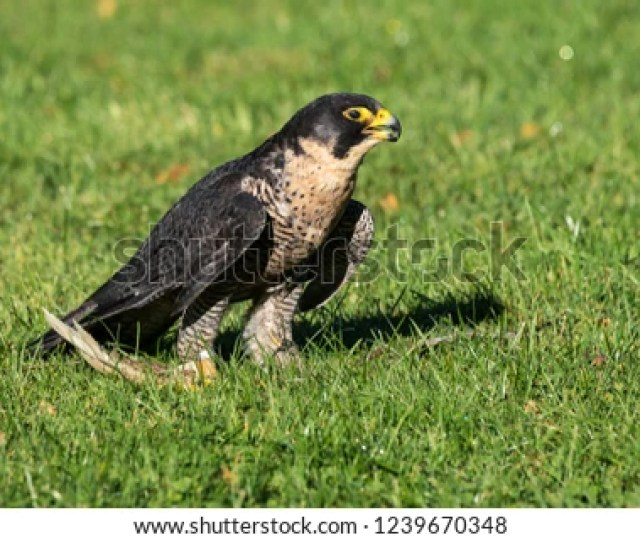 A Peregrine Falcon Falco Peregrinus These Birds Are The Fastest Animals In The