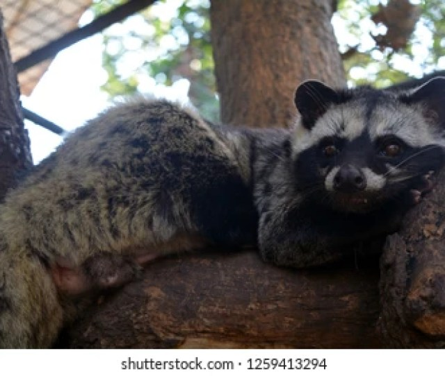 Raccoon Is Very Lovely Animal Native To America Its Tame And Cute With Black Eyes