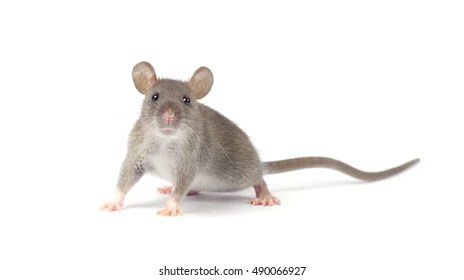 Image result for free blog pics of rats