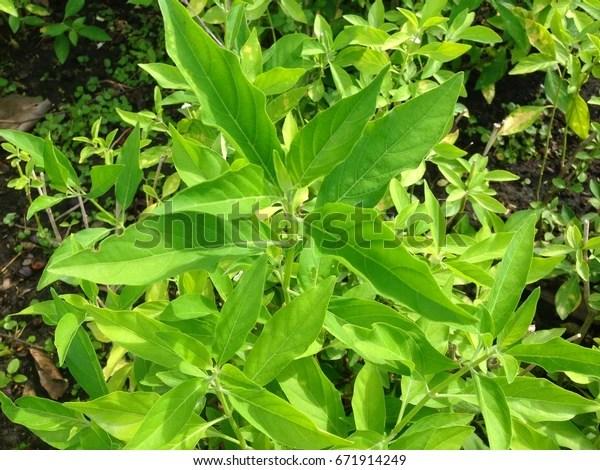 Rhinacanthus Nasutus Tree Herbs Root Cure Stock Photo Edit Now