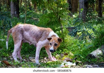Sick and skinny dog. It's very hungry. South East Asia.