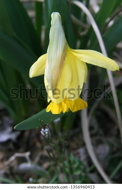 single yellow daffodil bloom hanging down